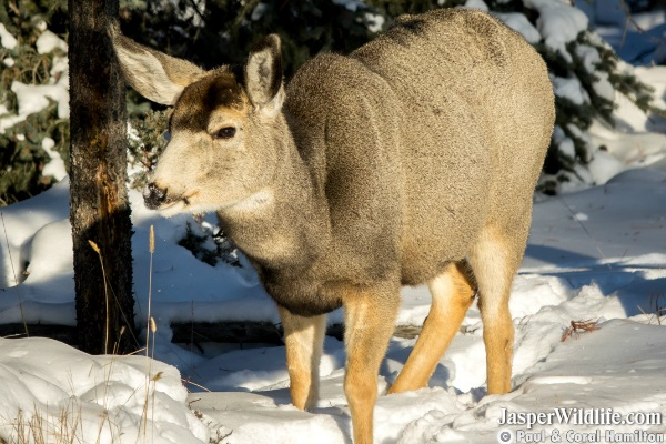 Jasper mule deer - Wildlife